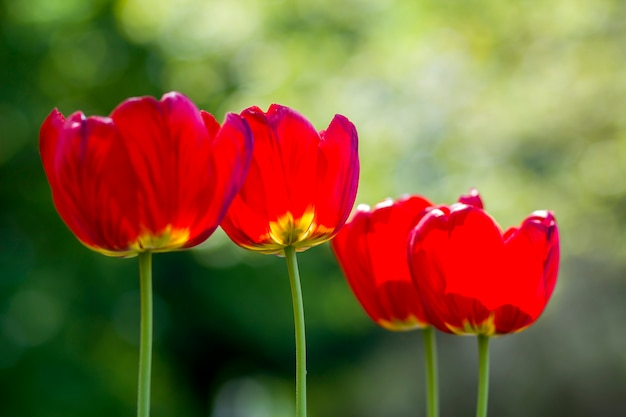Beautiful close-up picture of wonderful bright red spring flowers tulips on high stems lavishly blooming on blurred green in garden or field. beauty and protection of nature concept.
