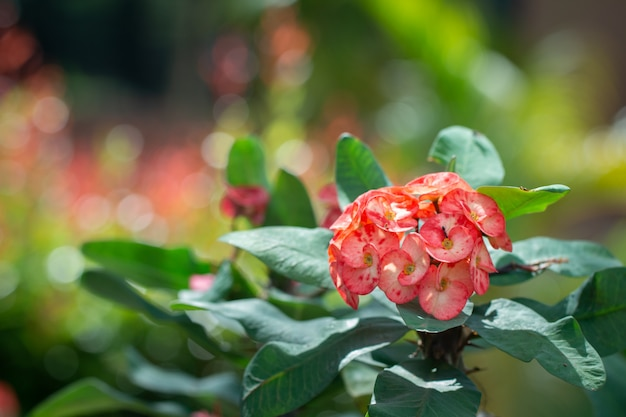 Beautiful closed up of  crown of thorns or christ thorn flowers