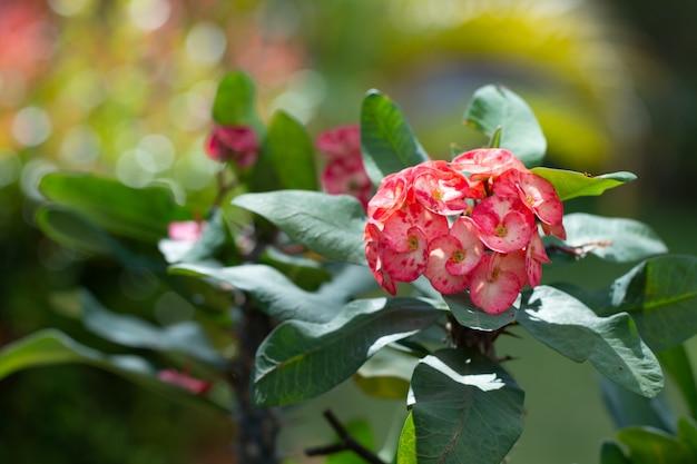 いばらの冠やキリストのとげの花の美しいクローズアップ(euphorbia milli)