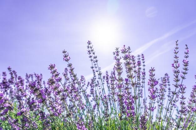 夏の紫色のラベンダーの花の茂みの美しいクローズアップ。