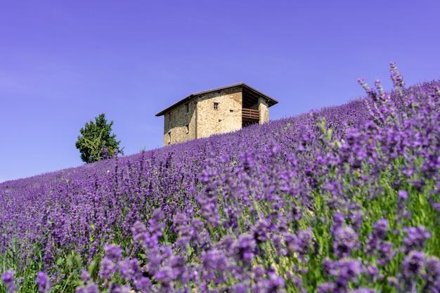 Beautiful closeup lavender field landscape in summer.