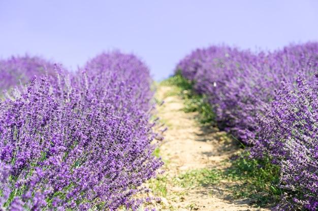 Beautiful closeup lavender field summer landscape.
