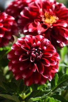 フィールドで成長している赤い花の美しいクローズアップ