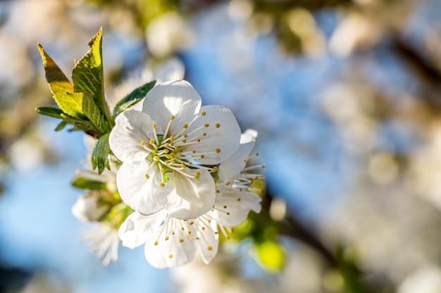 햇빛 아래 살구 나무 꽃의 아름다운 근접 촬영