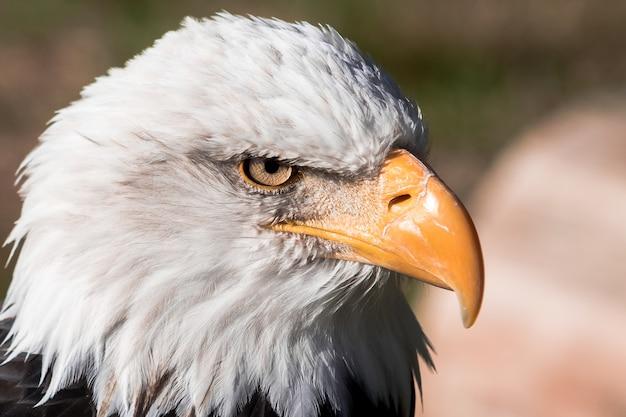 대머리 독수리 머리의 아름 다운 근접 촬영 샷