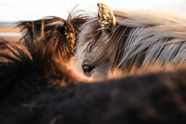 Красивый крупным планом выстрел из коричневых и белых лошадей