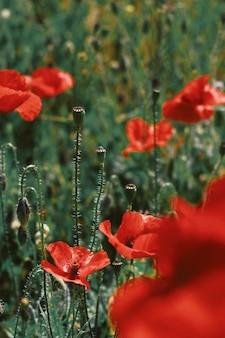 Beautiful closeup shot of red poppy flowers blooming in a green field