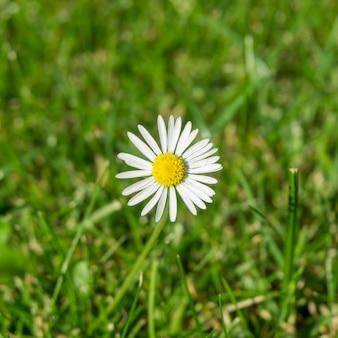 Beautiful closeup shot of white chamomile