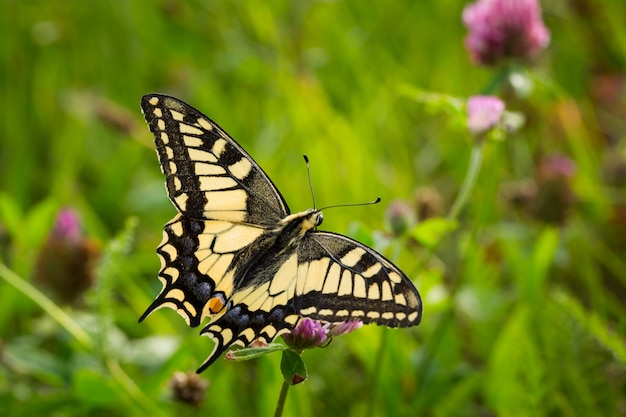 Beautiful closeup shot of a yellow swallowtail butterfly perched on flowers in a field