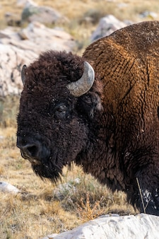 Beautiful closeup view of a bison standing in the middle of the field