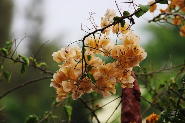 オレンジブーゲンビリアの花の美しいクローズアップビュー