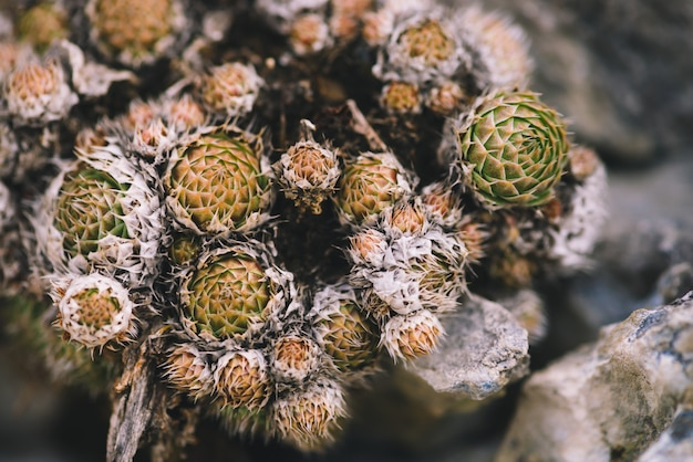 Beautiful cluster of picturesque prickly succulents among stones close-up. rocky survivable all-season plants in macro photography. mountain cacti in wild nature.