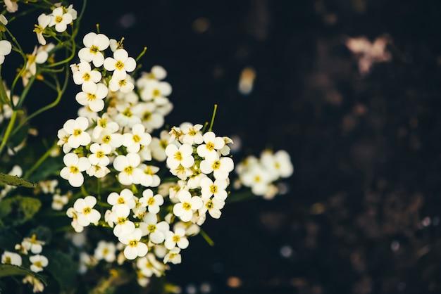 Beautiful cluster of white hesperis.