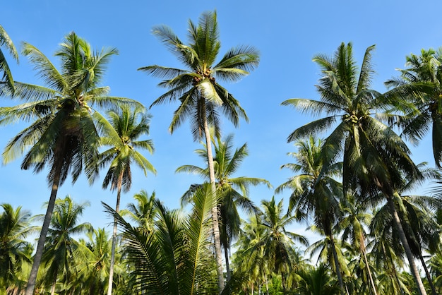 Beautiful coconut palm trees farm on blue sky background.