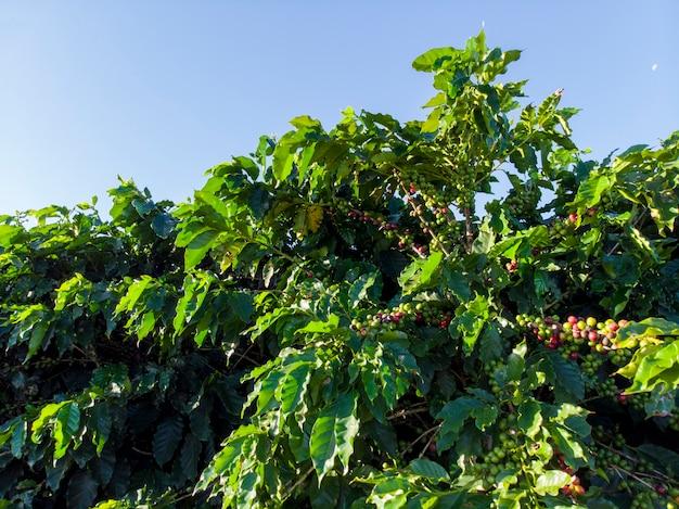 美しいコーヒー農園、枝の穀物。