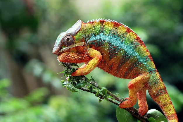 Beautiful color of chameleon panther, chameleon panther on branch looking around