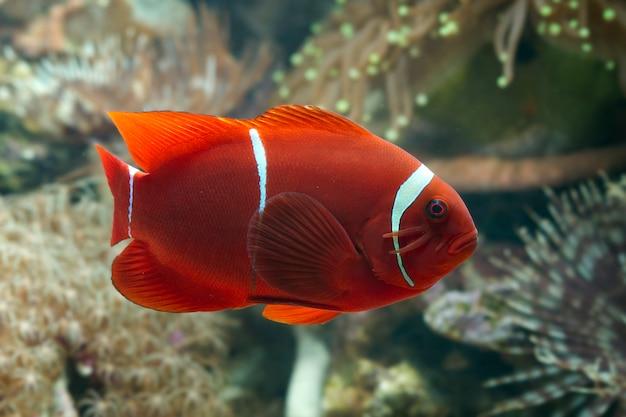 サンゴの美しい色のカクレクマノミ