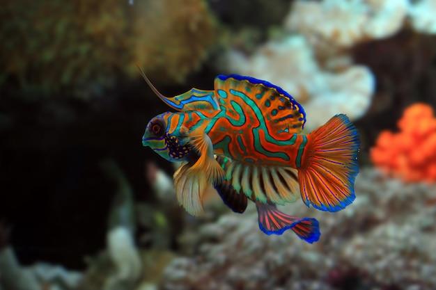 美しい色のニシキテグリマンダリン魚の戦いニシキテグリのクローズアップ