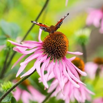 紫色の花エキナセアの美しい色のヨーロッパの孔雀蝶inachisio aglais io