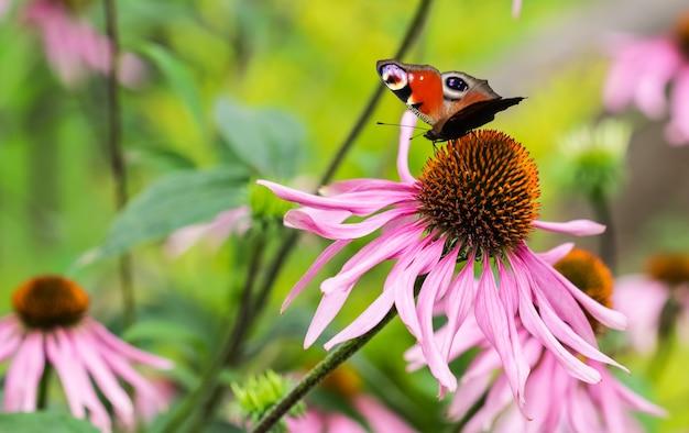 보라색 꽃 에키네시아에 아름다운 색깔의 유럽 공작 나비 inachis io aglais io