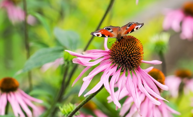 Beautiful colored european peacock butterfly inachis io aglais io on purple echinacea flower in
