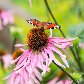 Beautiful colored european peacock butterfly inachis io aglais io on purple flower echinacea in