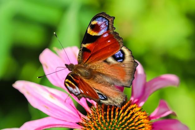 日当たりの良い庭の紫色の花エキナセアの美しい色のヨーロッパの孔雀の蝶
