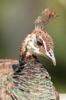 Beautiful colored female peacock portrait
