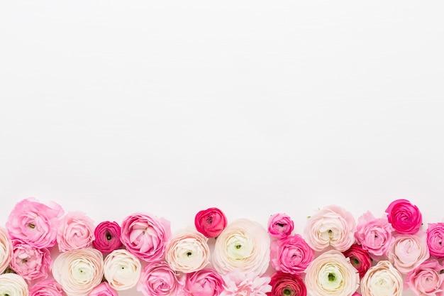 白い背景の上の美しい色のラナンキュラスの花。