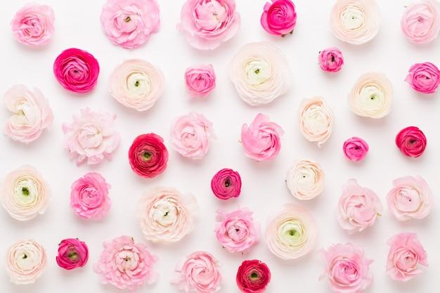 白い背景の上の美しい色のラナンキュラスの花
