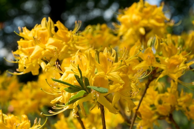 Beautiful colored rhododendron flowers in spring garden. selective focus