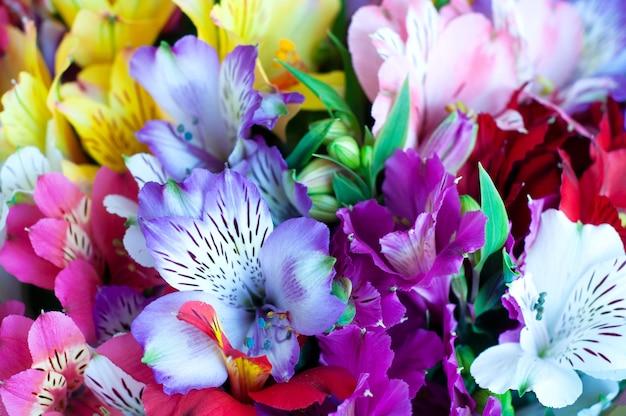 Красивые красочные цветы альстромерии