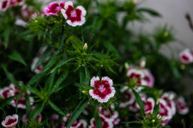 Beautiful colorful carnation