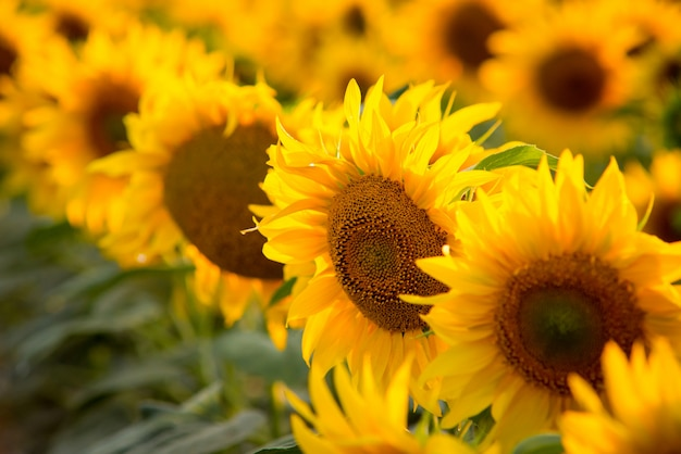 Beautiful colorful close up picture of sunflowers growing in rows in the field following sun during the day