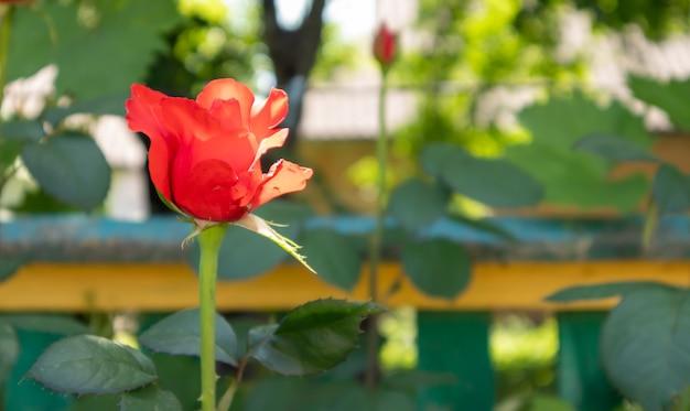 赤い庭に咲く美しく、カラフルで繊細なバラ。セレクティブフォーカス。閉じる。