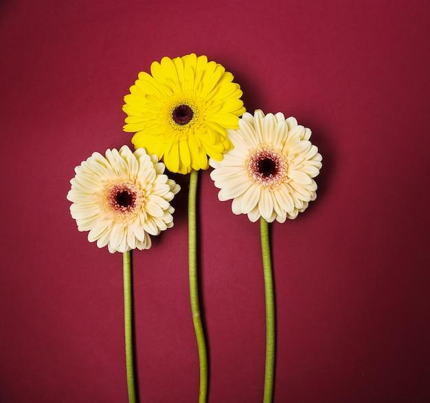 Beautiful colorful gerbera flowers