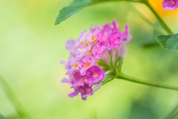 Красивый красочный цветок хеджирования, плачущий лантана, лантана камара линн