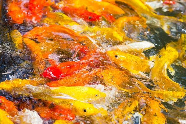 Красивые красочные рыбы koi в пруду