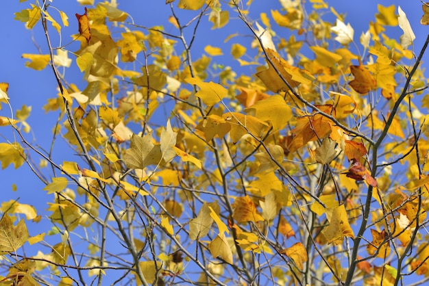 Beautiful and colorful leaves in the maple tree under blue sky in autumn