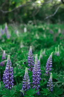 Beautiful colorful lupin flowers blooms in garden.summer flower background.