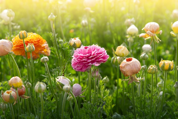 Beautiful colorful meadow of ranunculus