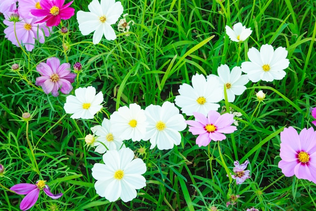 Beautiful and colorful natural summer cosmos wild flowers on green grass field backdrop ba
