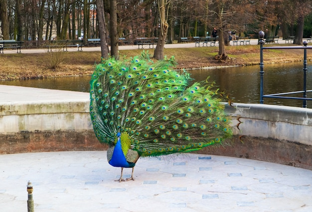 Beautiful and colorful peacock in royal baths park warsaw poland