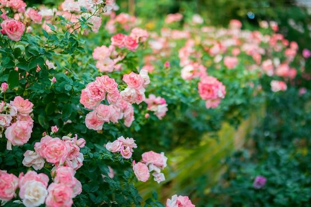 庭の美しいカラフルなピンクのバラの花