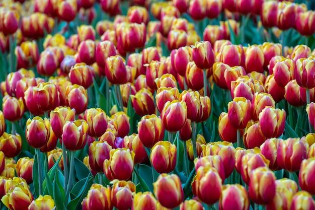 美しいカラフルな赤と黄色のチューリップの背景。春の花畑。ベトナム、ダナンの花壇のチューリップ、クローズアップ