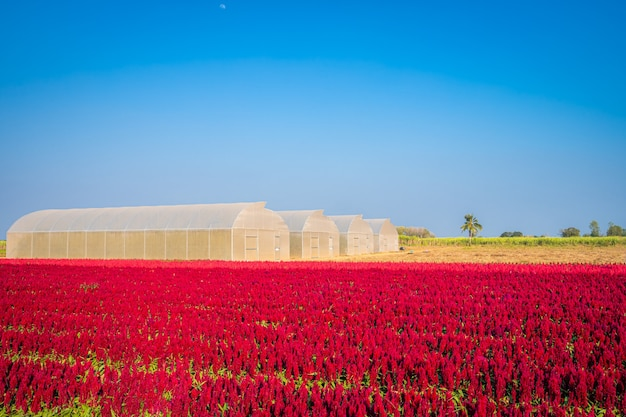 Beautiful colorful red or pink  cockscomb celosia flowers pattern farm blooming in garden air atmosphere bright blue sky of nature background in kamphaeng phet, thailand