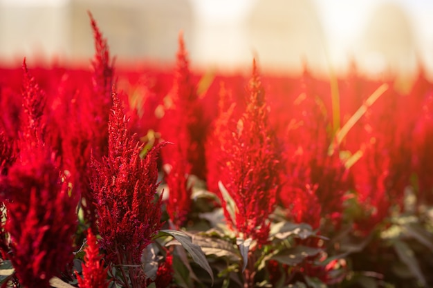 Beautiful colorful red or pink  cockscomb celosia flowers pattern farm blooming in garden of nature background in thailand