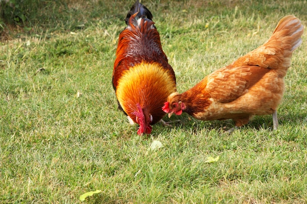 Beautiful colorful rooster in a farmyard in france