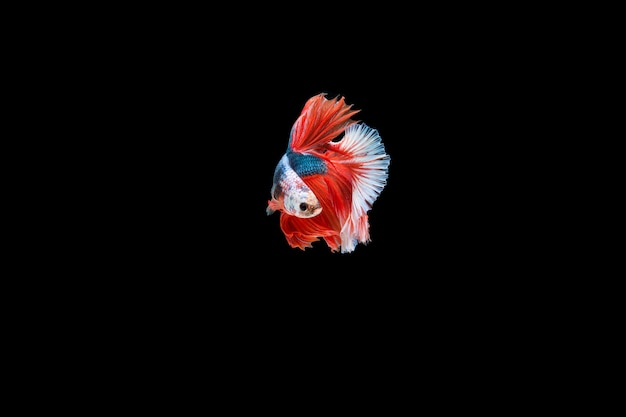 Beautiful colorful of siamese betta fish
