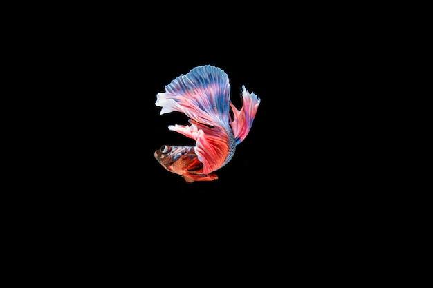 Beautiful colorful of siamese betta fish